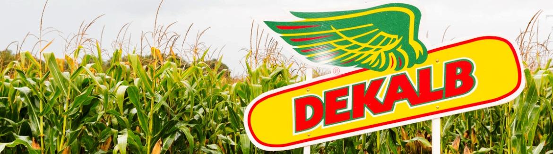 Obtenha o híbrido Dekalb perfeito e a combinação de densidade de sementeira para o seu cmapo